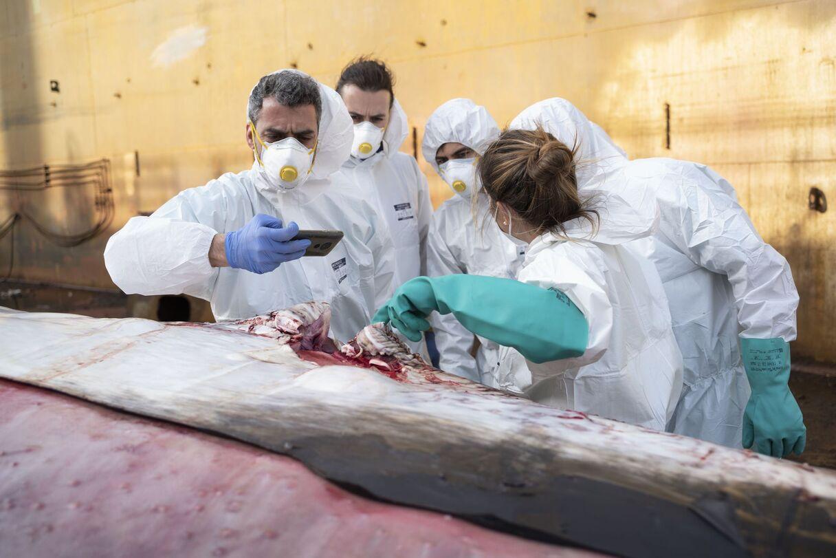 Foto (12): Itālijā izskalots viens no visu laiku lielākajiem beigtajiem vaļiem