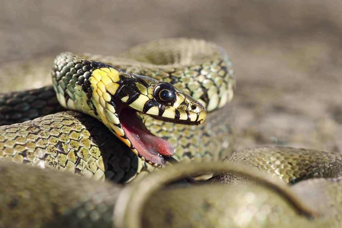 Foto: Igaunijā vīrieti pašu mājās pārsteidz no ziemas miega pamodusies čūska