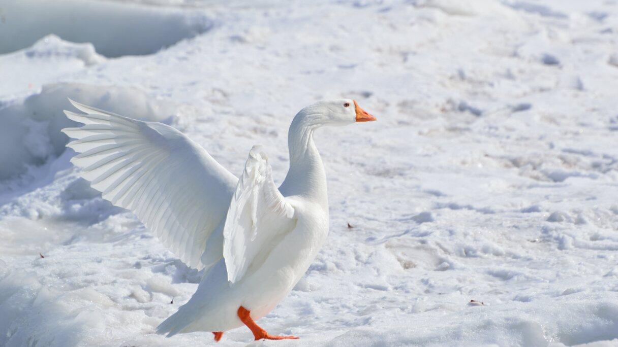 Kā rīkoties sala laikā, ja gulbis uz ledus uzvedas netipiski, vai gulbis ir jāglābj?