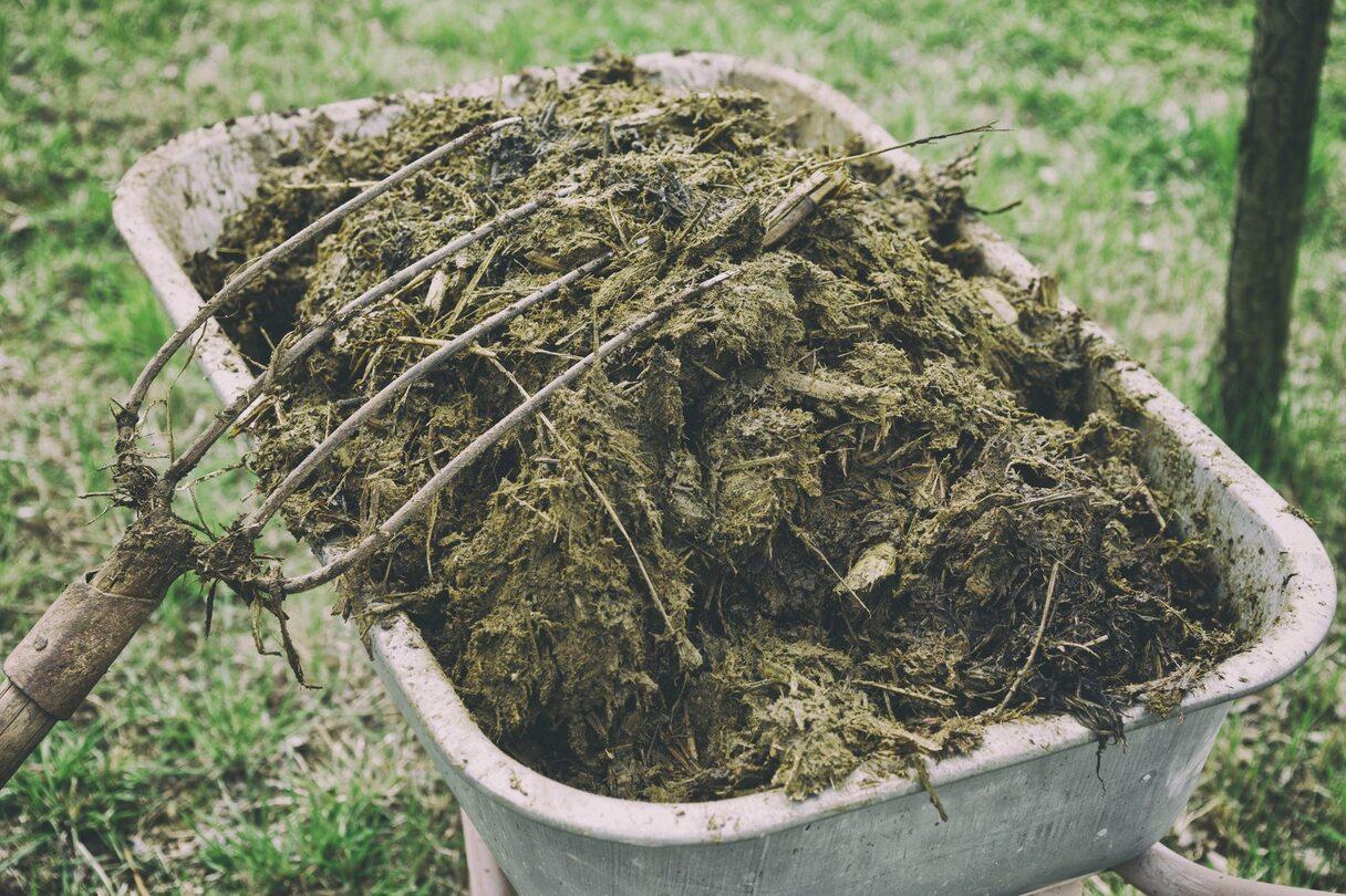 Nemēslo augsni ar svaigiem kūtsmēsliem. Uzzini kāpēc!