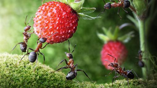 Kā izvairīties no skudrām dārzā un dobēs?